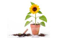 Sachet de graines de tournesols nains - Graines à planter - 10doigts.fr