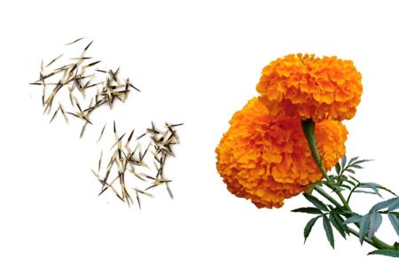 Sachet de graines d'oeillets d'Inde - Graines à planter – 10doigts.fr