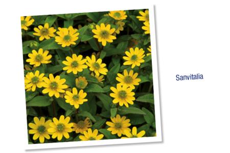 Sachet de graines de santivalia - Graines à planter – 10doigts.fr