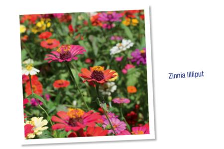 Sachet de graines de zinnia lilliput - Graines à planter – 10doigts.fr