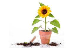 Sachet de graines de tournesols nains - Graines à planter – 10doigts.fr