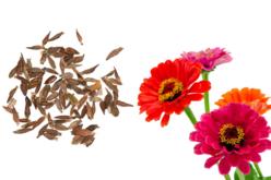 Sachet de graines de zinnia lilliput - Graines à planter – 10doigts.fr - 2