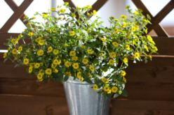 Sachet de graines de santivalia - Graines à planter – 10doigts.fr - 2