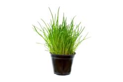 Sachet de graines de ciboulette - Graines à planter – 10doigts.fr - 2