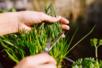 Sachet de graines de ciboulette - Graines à planter – 10doigts.fr