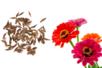 Graines de zinnia lilliput - 1 Sachet - Supports en Céramique et Terre Cuite 11967 - 10doigts.fr