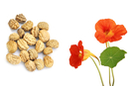 Graines de capucines naines - 1 Sachet - Supports en Céramique et Terre Cuite 11583 - 10doigts.fr